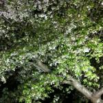 店先の大島桜